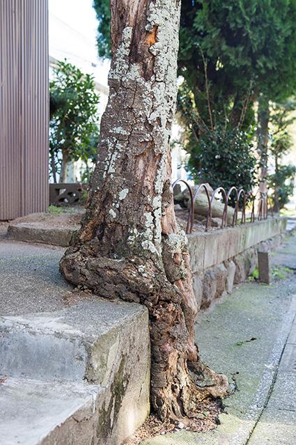 海門寺公園の「座っているように見える木」